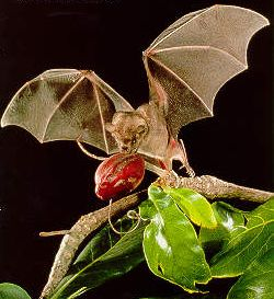 a-bat-fruit3